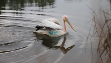 Ormanya, Ak Pelikan'a umut oldu
